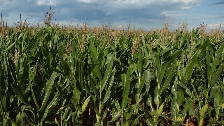 Como a irregularidade das chuvas afeta safra de milho