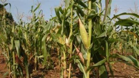 Safrinha de milho terá 5 mi/t a menos
