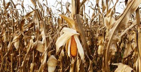 Falta milho no Brasil: Onde paga mais?