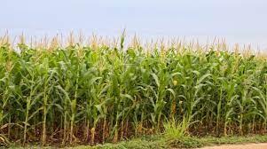 Produtividade do milho safrinha em MG deve cair pela metade