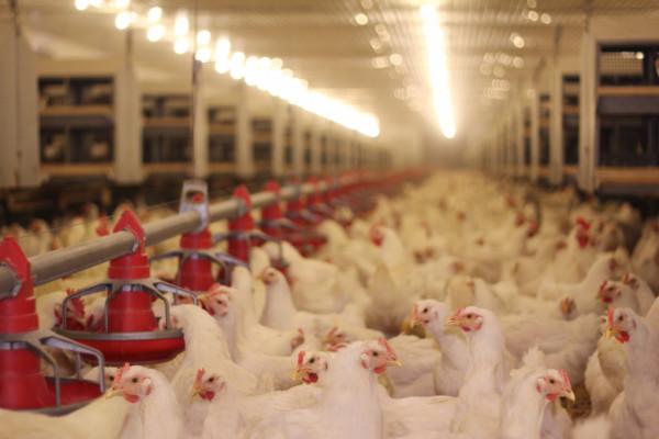 Mercado de frango